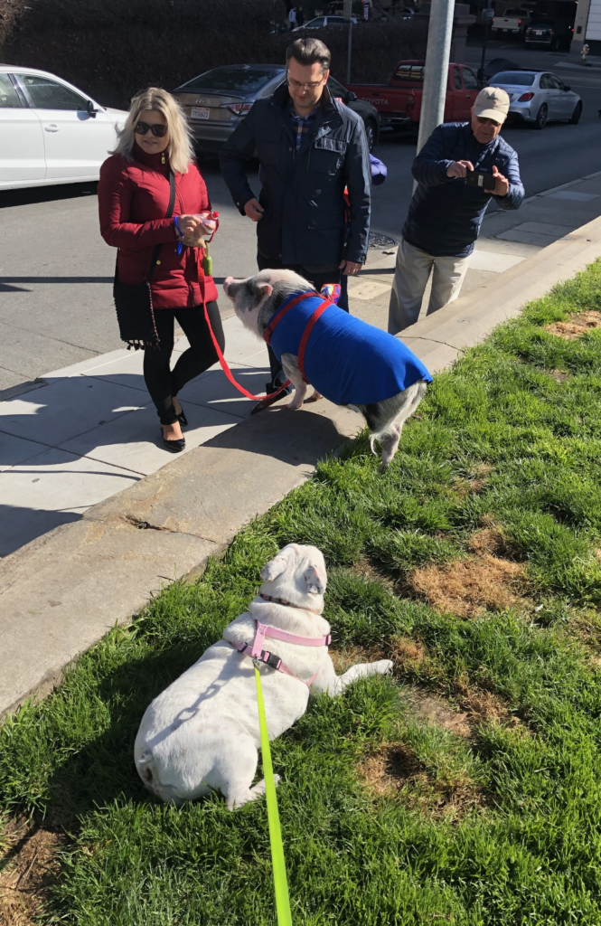 Dilly the Bulldog meets a therapy pig in Sacramento, courtesy of Your Quizmaster